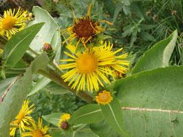 Inula helenium (Saatgut)