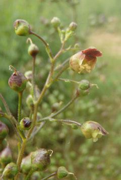 Scrophularia nodosa (Saatgut)