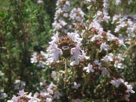 Thymus vulgaris `French Summer´(Saatgut)