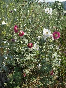 Alcea rosea (Saatgut)