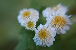 Chrysanthemum parthenium -gefüllt- (Saatgut)
