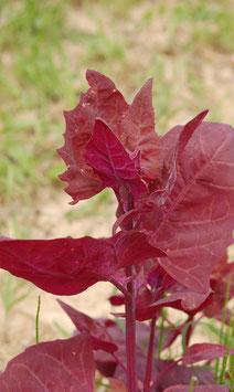 Atriplex hortensis var. rubra (Saatgut)