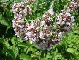 Origanum vulgare (Saatgut)
