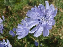 Cichorium intybus (Saatgut)