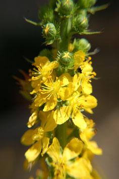 Agrimonia procera (Saatgut)