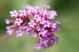 Verbena bonariensis (Saatgut)