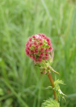 Sanguisorba minor (Saatgut)