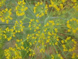 Anethum graveolens (Saatgut)