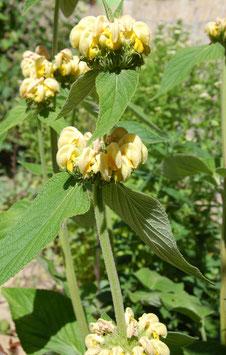 Phlomis russeliana (Saatgut)