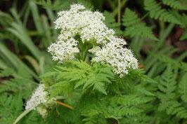 Myrrhis odorata (Saatgut)