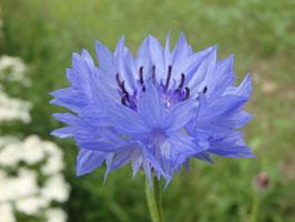Centaurea cyanus (Saatgut)