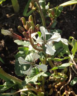 Eruca sativa (Saatgut)
