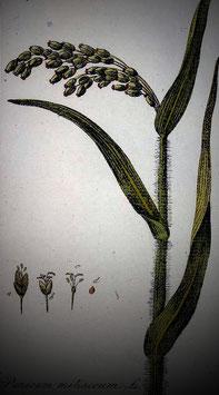 Panicum miliaceum (Saatgut)