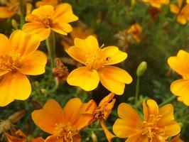 Tagetes tenuifolia -Mix-  (Saatgut)