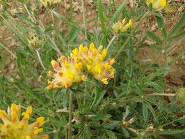 Anthyllis vulneraria (Saatgut)
