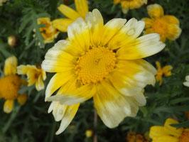 Chrysanthemum coronarium (Saatgut)