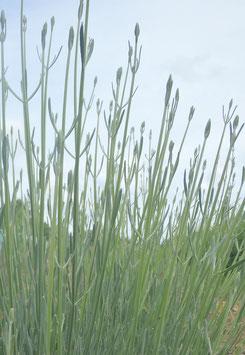 Lavandula latifolia (Saatgut)
