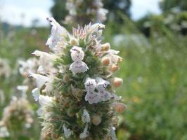 Nepeta cataria ssp. citriodora (Saatgut)