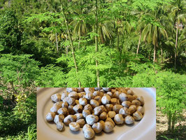 Moringa  Wildwuchs Samen... geschält... aus frischer Ernte ... Nicht zum Anpflanzen geeignet...