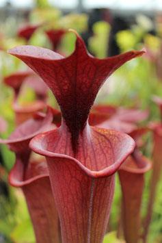 Sarracenia flava var.atropurpurea, black water state forest