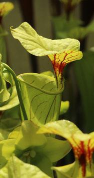 Sarracenia flava var.maxima, Slacks`s maxima