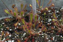 Drosera rotundifolia x linearis