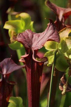 Sarracenia flava var. atropurpurea - carnigarden