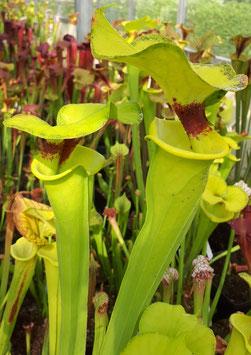 Sarracenia flava var.rugelii, very tall form MKF100