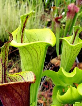 Sarracenia flava var.ornata lidless - P.Wilson