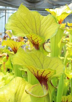 Sarracenia flava var. flava Giant - MKF32