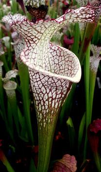 Sarracenia leucophylla - large autumn pitchers CK