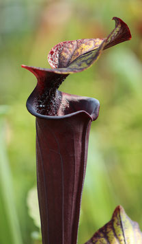 S. flava var.rubricorpora Very dark maroon tube, Wewahitchka, F