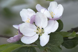 Doppelkarte A5  hochweiss - Apfelblüten - MSW8465-G