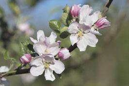 Doppelkarte A5  hochweiss - Apfelblüten - MSW8383-G