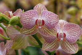 Doppelkarte A5 blütenweiss- Orchideen - DSC1012
