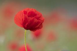 Doppelkarte A5  blütenweiss - Mohn im Abendlicht   -   MSW0728