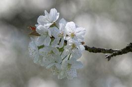 Doppelkarte B6 blütenweiss - Kirschblüten - DSC6238