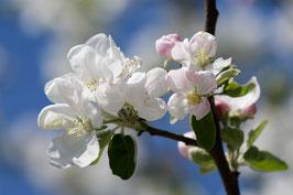 Doppelkarte A5  blütenweiss - Apfelblüten - DSC6409