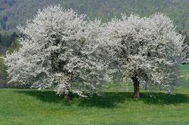 Doppelkarte B6 blütenweiss - Kirschbäume - DSC5952