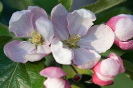 Doppelkarte B6 blütenweiss - Apfelblüten - DSC6510