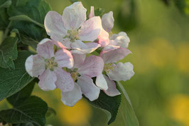 Doppelkarte B6 zartrosa - Apfelblüten - 6562