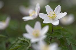 Doppelkarte A5  blütenweiss -Waldanemonen - DSC4490