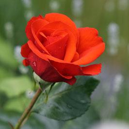 Doppelkarte quadratisch blütenweiss / Rose mit Tau - MSW7083-G