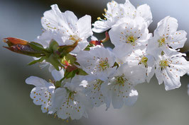 Doppelkarte A5  blütenweiss - Kirschblüten - DSC6225