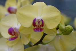 Doppelkarte B6 blütenweiss - Orchideen gelb - DSC1054-G