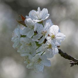 Doppelkarte quadratisch blütenweiss  -   Kirschblüten   -   DSC6239
