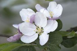 Doppelkarte B6  blütenweiss - Apfelblüten - MSW8465-G