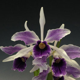 新入荷8 Cattleya purpurata fma. coerulea-flamea '2018-314'