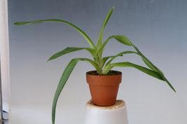 「愛情やまなし農産物パック」人気のフラグミ交配種の開花サイズ苗!Phrag. Fritz Schomburg