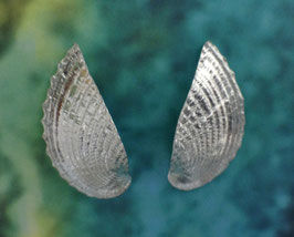S 1 Heart Cockle Earring